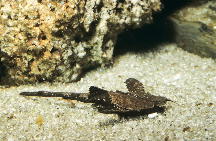Zweifarbiger Bratpfannenwels, Bratpfannenwels, Dysichthys coracoideus, Bunocephalus coracoideus, Bunocephalus bicolor, Dysichthys bicolor, Banjo Catfish