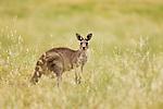 Eastern Grey Kangaroo (Macropus giganteus) female in grassland, Mount Taylor Nature Reserve, Canberra, Australian Capital Territory, Australia