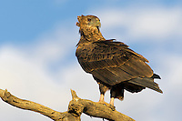 Perched juvenile bateleur with head turned.
