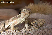 0610-1011  Desert Horned Lizard or Horny Toad (Mojave Desert), Phrynosoma platyrhinos  © David Kuhn/Dwight Kuhn Photography