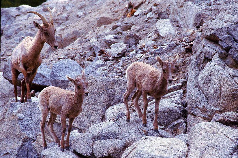 DESERT BIGHORN SHEEP TWIN LAMBS