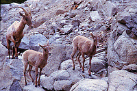 DESERT BIGHORN SHEEP TWIN LAMBS