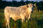 White bull with horns in early morning sunlight standing in field, Suffolk, England, UK