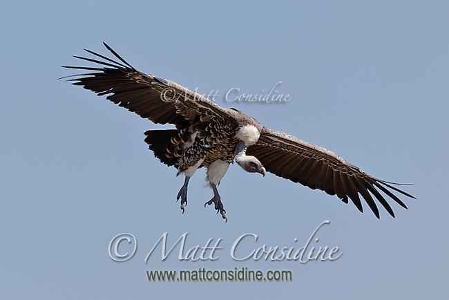 An African white-backed vulture in flight Kenya, Africa (photo by Wildlife Photographer Matt Considine)