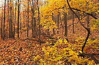 Autumn maples in forest