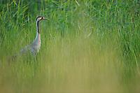 European crane, Grus grus, Morko, Sormland, Sweden