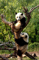 PANDA COMPLEX: CHENGDU: CHINA.Last years panda cubs, Ya Guang and Ya Xiang, at the nusery of the Panda breeding complex at Chengdu Panda Breeding and Conservation Institute.  The specially designed Panda Breeding Complex is a world's first.  The complex has facilities for upto 12 mothers, a nursery, a breeding room, an artificial insemination facility and quarters for  staff. .Photo by Richard Jones/SINOPIX.©sinopix
