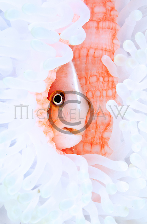 East Indonesia, Raja Ampat, Amphirion perideraion living with white anemone