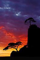 Umbrella Thorn Acacia, Acacia tortilis, silhouetted at sunrise, Masai Mara Game Reserve, Kenya, Africa