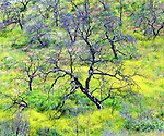 USA, California, San Diego.   A Burnt Oak Forest Invaded by Mustard  in Cleveland National Forest after the Cedar fire and record rains.