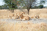Lion Cub Urging his Lion Family to Play in Moremi Animal Reserve in Botswana in Africa