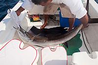 Sailfish, Istiophorus platypterus, being released while big game fishing