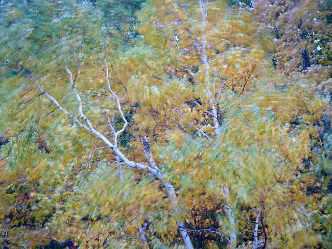 Adirondack Birches in the wind