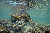 Green Sea Turtle (Chelonia mydas) feeding on algae on ocean rocks.  Hawaii.