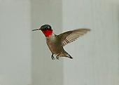 Birds - North America