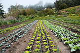 USA, California, Big Sur, Esalen, rows of produce grow at The Farm, the Esalen Institute