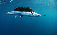 Atlantic Sailfish swimming in the Gulfstream in the Atlantic Ocean off of South Florida. (Jason Arnold/RRA-MEDIA)