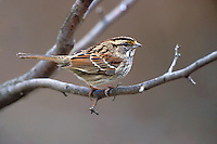 White-throated Sparrow - Zonotrichia albicollis - Adult non-breeding