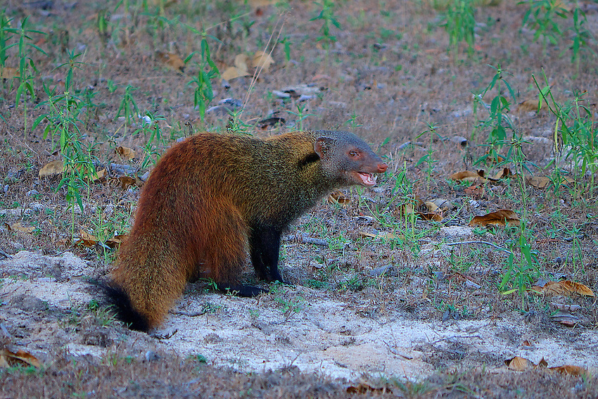 The rare stripe-necked mongoose (Herpestes vitticollis) is easy enough to identify. It has black legs, grey fur body and one black stripe that runs from the bottom of its ears down to its shoulder. Yala National Park, Sri Lanka
