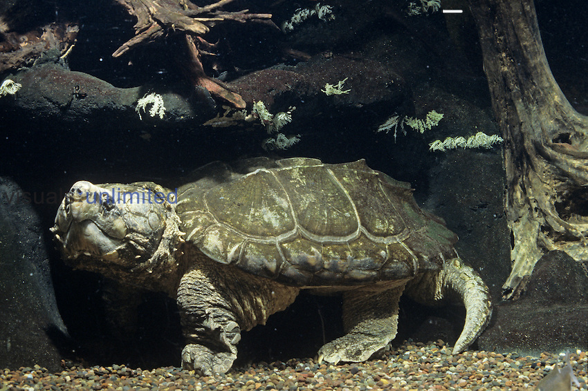 Alligator Snapping Turtle underwater (Macroclemys temmincki), Southeastern USA....