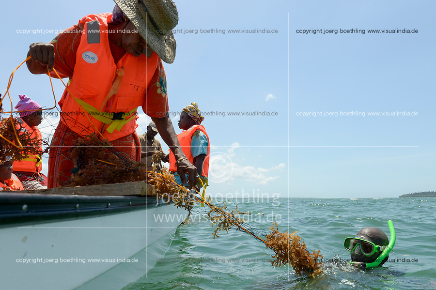 TANZANIA, Zanzibar, village Muungoni, due to climate change and rising water temperatures seaweed farmer have shifted to plant red algae farming in deep water
