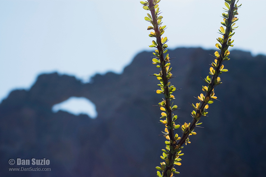 Ocotillo, Fouquieria splendens, with arch in background. Arch Canyon, Organ Pipe Cactus National Monument, Arizona.