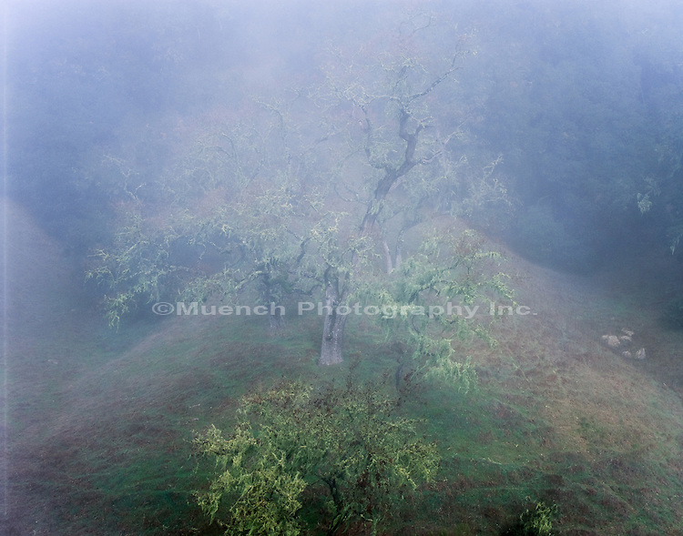 Oak in fog   CALIFORNIA