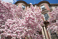 Magnolias on Commonwealth Avenue, Back Bay, Boston, MA
