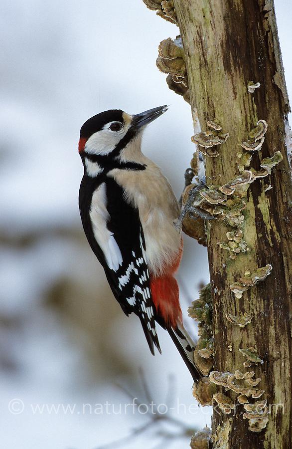 Buntspecht, Männchen bei der Nahrungssuche in einem morschen Baumstamm, Bunt-Specht, Specht, Dendrocopos major, Picoides major, great spotted woodpecker