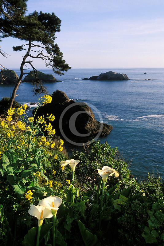 California, Mendocino County, Elk, Coastal bluffs and calla lilies