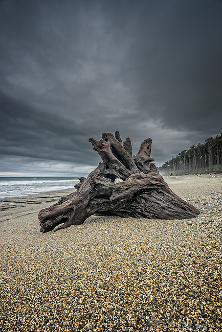The remnants of a tree on the beach at Bruce Bay on the west coast of the south island of New Zealand.