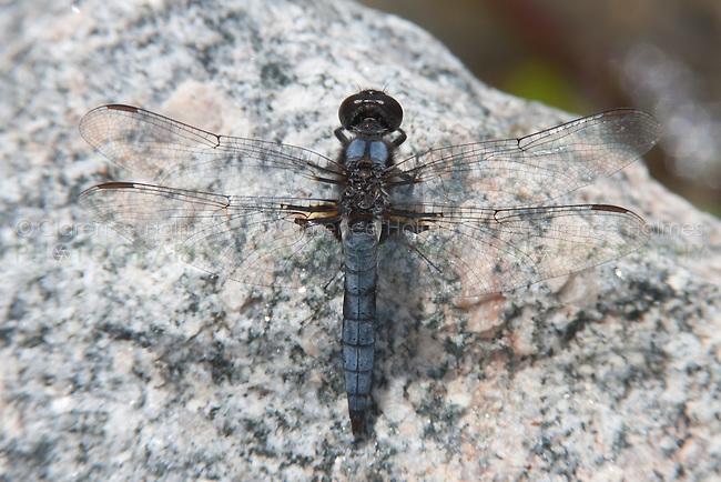 Blue Corporal (Ladona deplanata) Dragonfly - Male, Gordonia-Alatamaha State Park, Reidsville, Tattnall County, Georgia