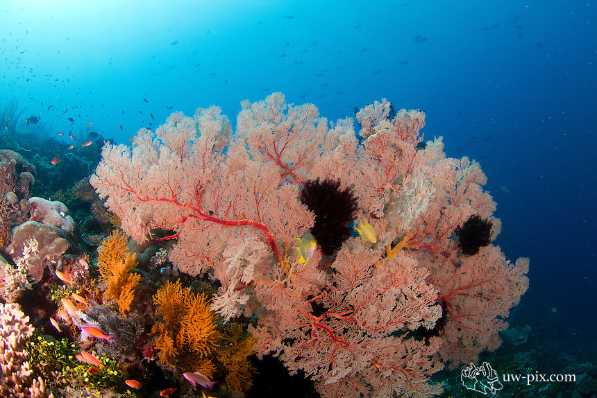 Gorgonian fan coral at the Japanese wreck in Amed / Bali / Indonesia.<br /> The coral garden at the Japanese wreck in Amed is very beautiful. You can find large gorgonian seafans, staghorn coral fields and lots of fish around this area.