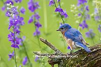 01377-17815 Eastern Bluebird (Sialia sialis) male in flower garden, Marion Co., IL