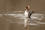 Hooded merganser stretching