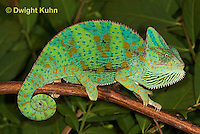 CH39-513z  Female Veiled Chameleon in display colors, Chamaeleo calyptratus