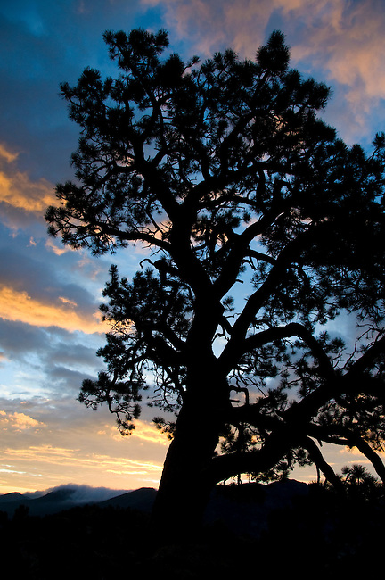 sunrise, ponderosa pine, silhouette, Estes Park, sky, mountain, Colorado, Rocky Mountains, USA, summer