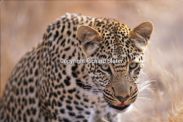 The leopard is the most solitary of Africa's big cats and its stealth and power make it a very effective hunter. When there are lions and hyenas in the vicinity, leopards typically move their kills up into trees to safeguard and devour them. This one is in Thornybush Reserve, South Africa.