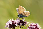 Common Blue Butterfly, Polyommatus icarus, Queensdown Warren, Kent Wildlife Trust, UK, nectaring on flower, backlight by sunshine