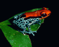 A Poison Dart frog. Amazon Jungle, Peru.