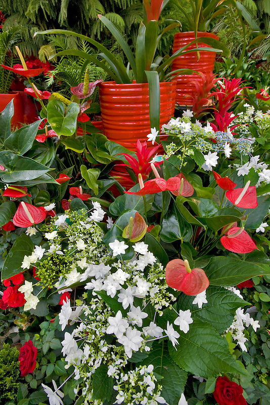 Christmas display of Fiesta Anthurium and white Shooting Stars. Al's Garden Nursery. Sherwood, Oregon