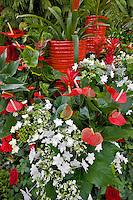 Christmas display of Fiesta Anthurium and white Shooting Stars. Al's Garden Nursery. Sherwood, Oregon