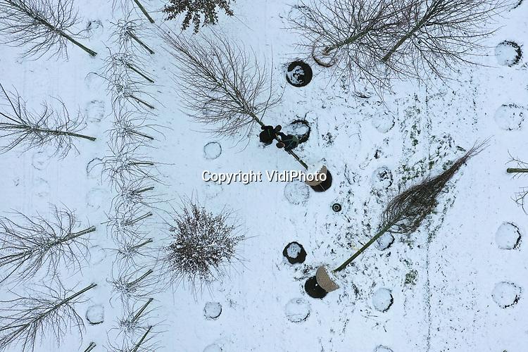 Foto: VidiPhoto<br /> <br /> RANDWIJK &ndash; Ruth Verwoert en zijn vriendin Anneke Geurtsen verrichten vrijdag samen een koud kunstje in de sneeuw. Voor Boomkwekerij &rsquo;t Hoorn uit Opheusden moeten ze op een perceel in het Betuwse Randwijk in de sneeuw een tiental koningslinden rooien, opbinden en transporteren naar een handelaar in Opheusden. De bestelling is voor een klant in het buitenland. Koud, maar ook schoon werk, vindt Ruth. Dankzij sneeuw en lichte nachtvorst hoeft er niet gewerkt te worden op de modderige boompercelen langs de Rijndijk . ZZP&rsquo;er Verwoert verhuurt zichzelf aan met name boomkwekers voor diverse werkzaamheden nu de sector weer flink in de lift zit en er werk genoeg is. Ook in de winter.