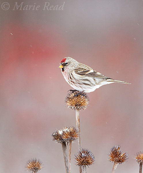 Common Redpoll (Carduelis flammea) male perching on coneflower seedhead in winter, New York, USA
