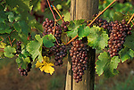 Pinot Gris wine grapes on vine; Champoeg Vineyards, Willamette Valley, Oregon..#9031-6513