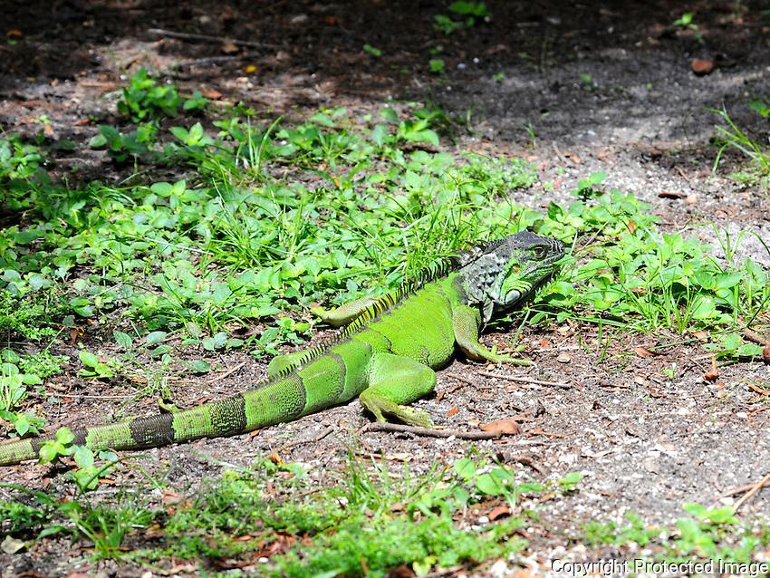 Iguana Photographed at Wakodahatchee Preserve, Delray Beach, Florida.