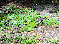 Iguana Photographed at Wakodahatchee Preserve, Delray Beach, Florida.