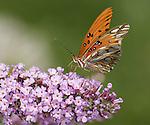 Gulf Fritillary Butterfly.Agraulis vanillae.August 17, 2008. Fitzroy Barrett