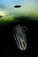 comb jelly, Beroe cucumis, under ice, Russia,  White Sea