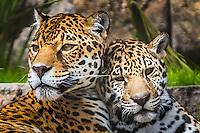 Zassi on left, nine year old Jaguar with Khan on right, eight month old Jaguar
